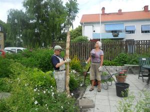Valnötsträd skänkt av Lövdalens handelsträdgård
